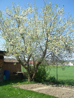 blühender Reneklodenbaum